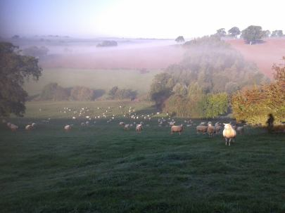 misty sheep